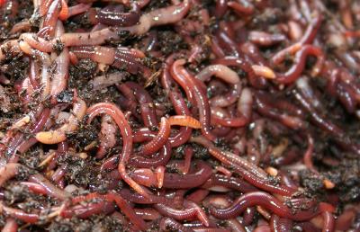 Защо се отглеждат червеите