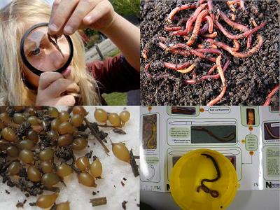 Червеният калифорнийски червей в детайли